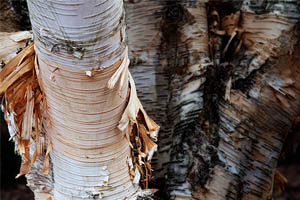 Himalayan White Birch. Photo by John Innes