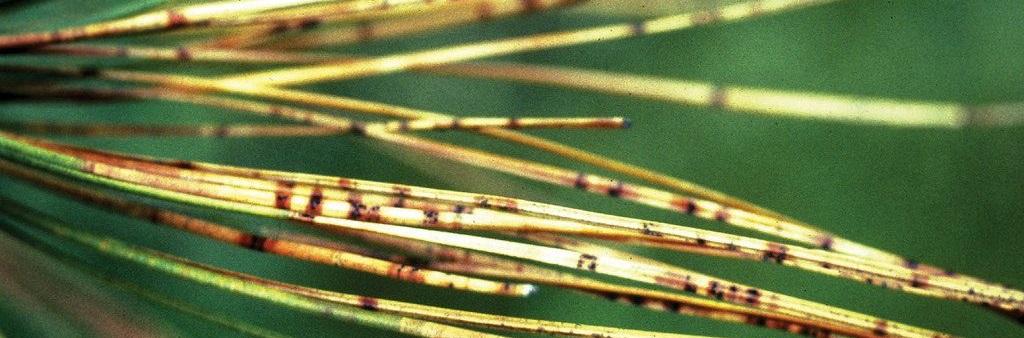 needle-blight
